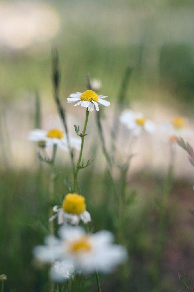 flower, chamomile, plant